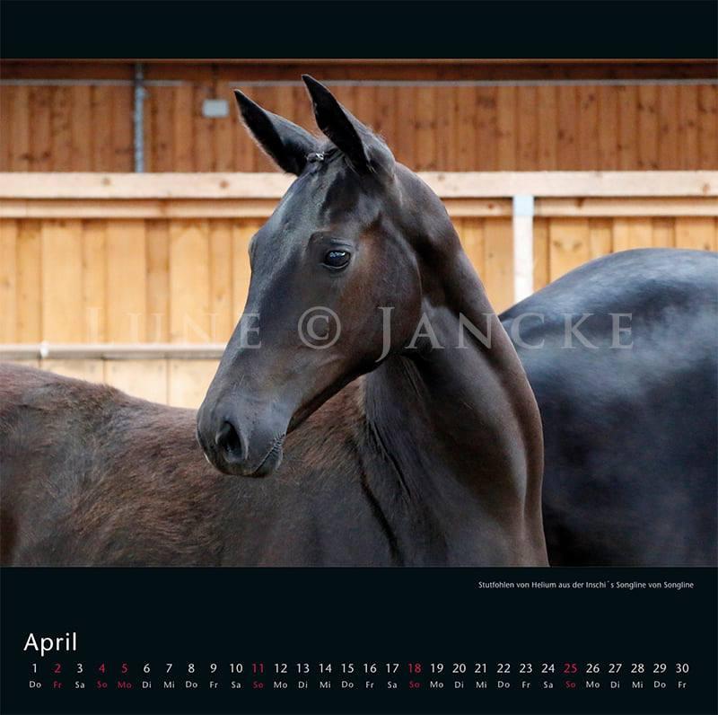 Kalender Trakehner Rheinland 2021 April Stutfohlen von Helium- Inschis Songline