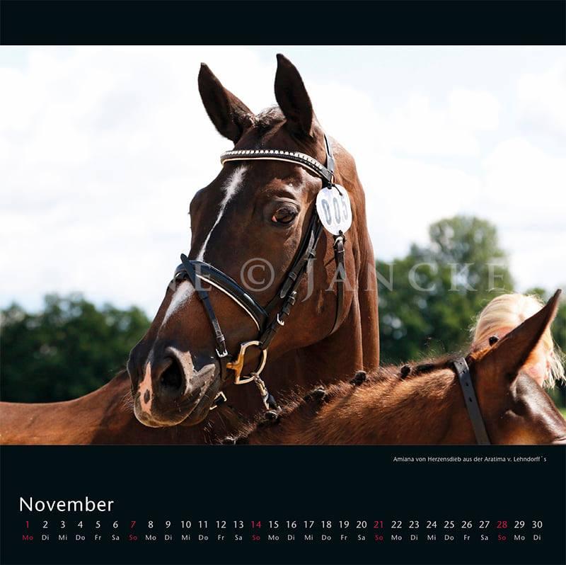 Kalender Trakehner Rheinland 2021 November Amiana